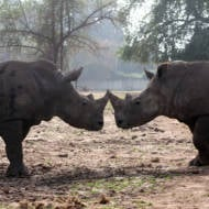 The baby rhinoceros' parents at the Ramat Gan Safari near Tel Aviv. (Flash90)